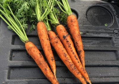 img-carotte-07