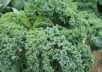 top view kale