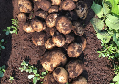 potato covered of dirt