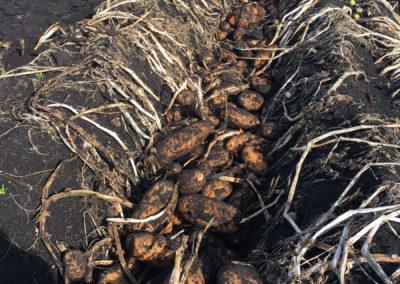 potato still in dirt